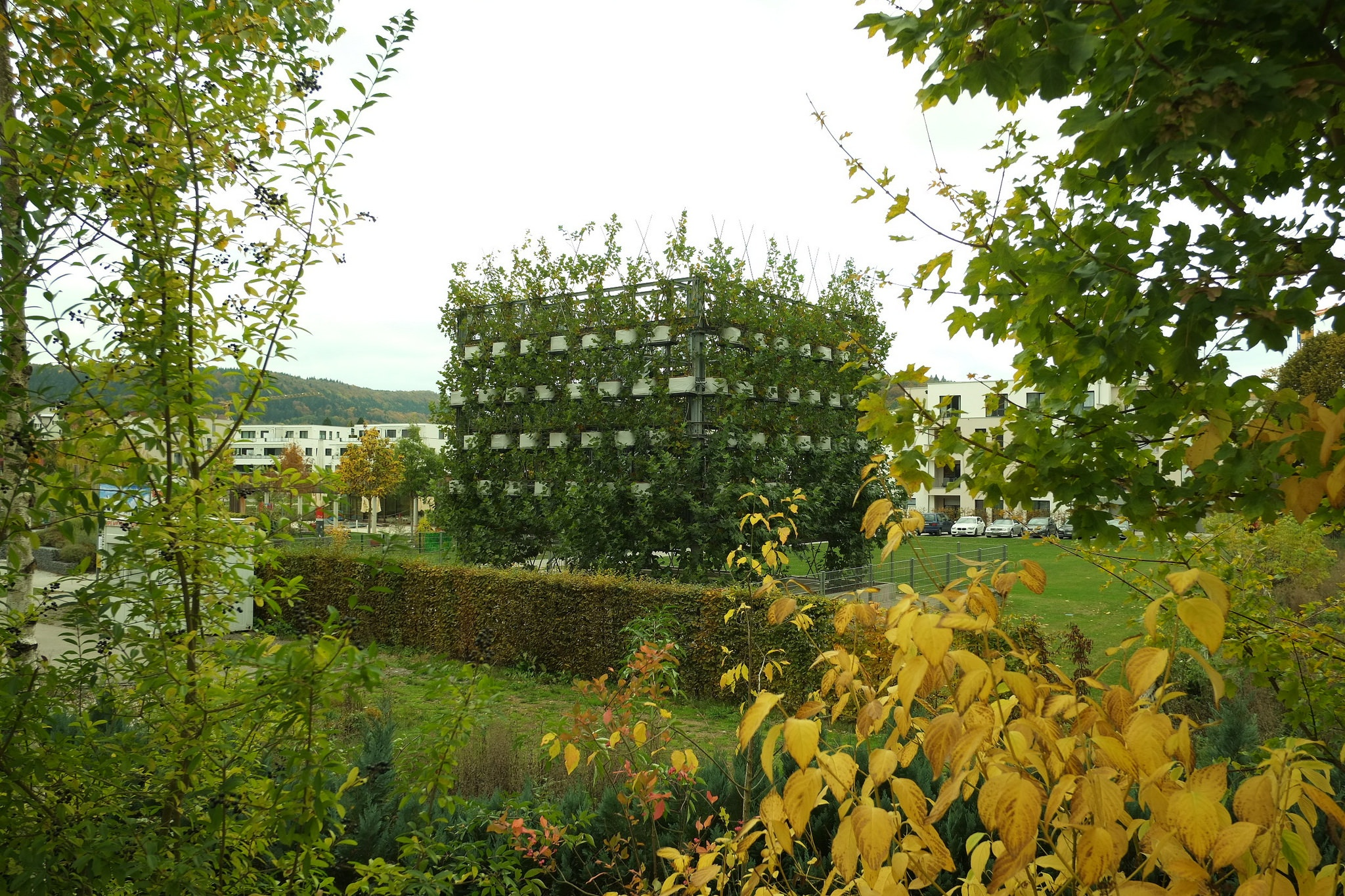 Sycamore tree cube in Nagold